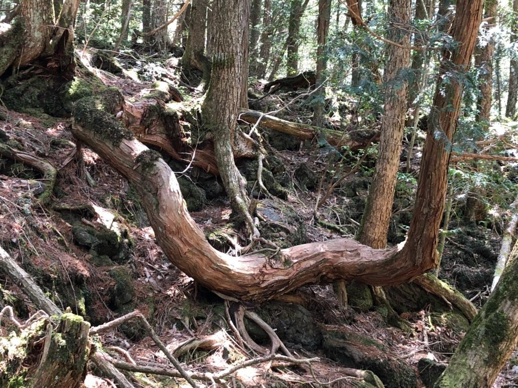 溶岩に生える樹